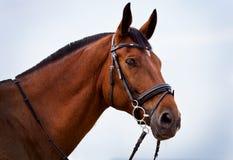 Portret van een paard Holstein tegen de blauwe hemel Royalty-vrije Stock Afbeelding