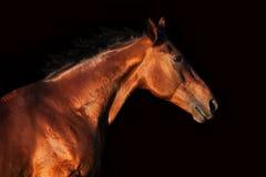 Portret van een paard op een zwarte achtergrond in profiel Royalty-vrije Stock Foto