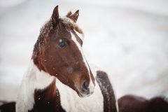 Portret van een paard tijdens sneeuwval Stock Fotografie