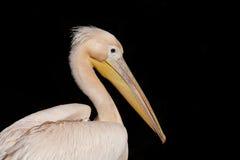 Portret van een pelikaan royalty-vrije stock fotografie