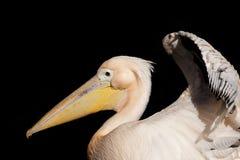Portret van een pelikaan in een dierentuin stock foto's