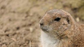 Portret van een prairiehond stock afbeelding