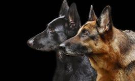 Portret van een profiel van twee Duitse herders Royalty-vrije Stock Foto's