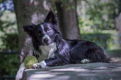Portret van een puppy border collie op een steenlijst Stock Foto
