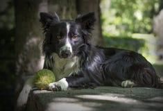 Portret van een puppy border collie op een steenlijst Royalty-vrije Stock Afbeelding