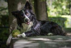 Portret van een puppy border collie op een steenlijst Stock Fotografie