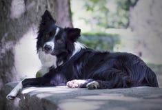 Portret van een puppy border collie op een steenlijst Royalty-vrije Stock Afbeeldingen