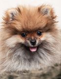 Portret van een puppy van de Pomeranian-spitz-hond royalty-vrije stock fotografie