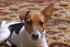 Portret van een puppy Jack Russel Stock Afbeeldingen