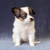 Portret van een puppy Papillon Royalty-vrije Stock Foto