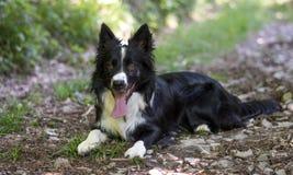 Portret van een puppy van border collie in het hout Royalty-vrije Stock Foto's