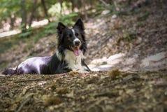 Portret van een puppy van border collie in het hout Stock Fotografie