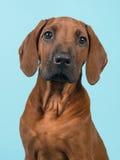 Portret van een puppy van Rhodesian Ridgeback op een blauwe achtergrond Stock Foto's