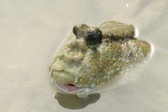Portret van een Reuzemudskipper Royalty-vrije Stock Afbeeldingen
