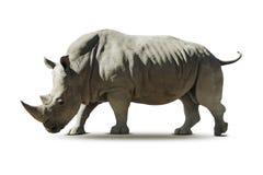 Portret van een rinoceros - Royalty-vrije Stock Afbeeldingen