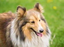 Portret van een rode colliehond op een achtergrond van heldergroen gras stock afbeeldingen