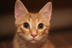 Portret van een rode kat Royalty-vrije Stock Afbeelding