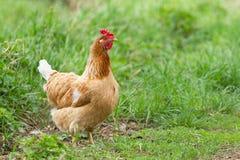 Portret van een rode kip stock afbeeldingen