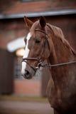 Portret van een rood paard stock afbeeldingen