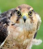 Portret van een roofvogel, havik of valk Stock Foto