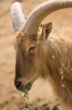 Portret van een schaap van Barbarije Stock Foto's