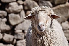 Portret van een schaap voor een achtergrond van de steenmuur Royalty-vrije Stock Foto
