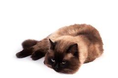 Portret van een Siamese kat Stock Fotografie