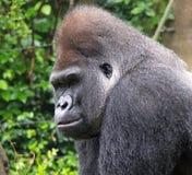 Portret van een Silverback-Gorilla Royalty-vrije Stock Afbeeldingen