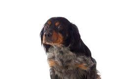 Portret van een spaniel Breton stock foto's