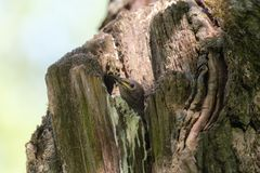 Portret van een starling kuiken Royalty-vrije Stock Afbeeldingen
