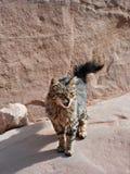 Portret van een straat Aziatische kat Stock Foto