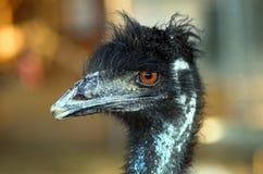 Portret van een Struisvogel stock foto's