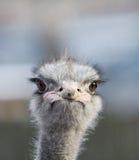 Portret van een struisvogel Royalty-vrije Stock Fotografie