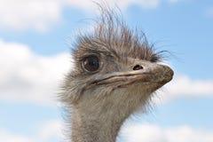Portret van een struisvogel stock afbeelding