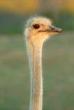 Het portret van de struisvogel Royalty-vrije Stock Fotografie