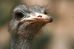 Portret van een struisvogel (Struthio-camelus), Afrika Stock Foto's