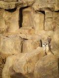Portret van een suricatta van Meerkat Suricata, een Afrikaans inheems dier die, een kleine carnivoor tot de mongoes behoren stock foto's