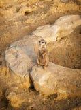 Portret van een suricatta van Meerkat Suricata, een Afrikaans inheems dier die, een kleine carnivoor tot de mongoes behoren royalty-vrije stock foto's