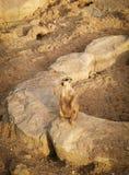 Portret van een suricatta van Meerkat Suricata, een Afrikaans inheems dier die, een kleine carnivoor tot de mongoes behoren royalty-vrije stock fotografie