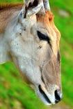 Portret van een Taurotragus oryx Stock Afbeelding