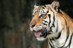Portret van een tijger van Bengalen. royalty-vrije stock foto