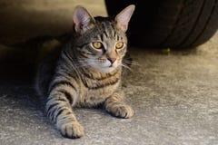 Portret van een tijgerkat met gele ogen die onder de auto, kat op de linkerkant van foto liggen Stock Afbeelding
