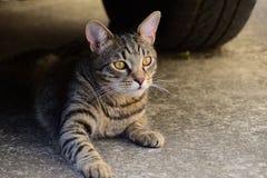 Portret van een tijgerkat met gele ogen die onder de auto, kat op de linkerkant van foto liggen Royalty-vrije Stock Afbeeldingen
