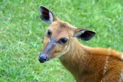 Portret van een ungulate dier royalty-vrije stock foto