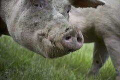 Portret van een varken royalty-vrije stock foto's