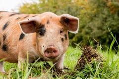 Portret van een varken stock foto's