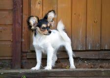 Portret van een vier maand-oud Papillon puppy Royalty-vrije Stock Afbeelding