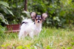 Portret van een vier maand-oud Papillon puppy Stock Fotografie