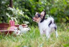Portret van een vier maand-oud Papillon puppy Stock Afbeelding