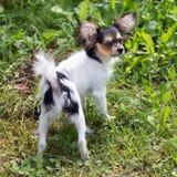 Portret van een vier maand-oud Papillon puppy Royalty-vrije Stock Foto